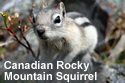 canadian_rocky_mountain_squirrel.jpg
