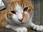 cat with orange spot.jpg